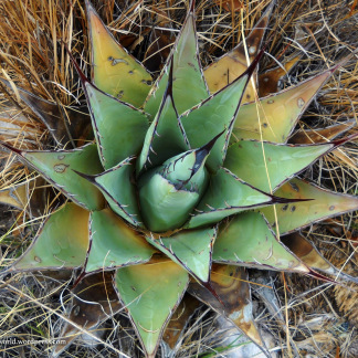 Agave - Guadalupe Mountains National Park, TX
