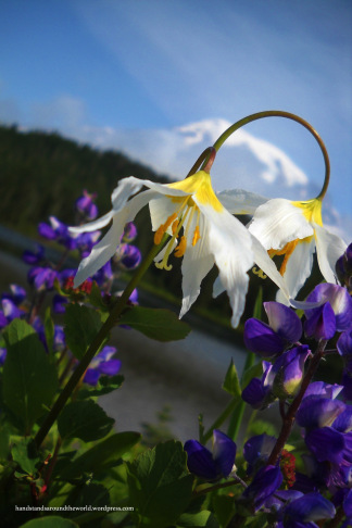 Avalanche lily at Reflection Lakes