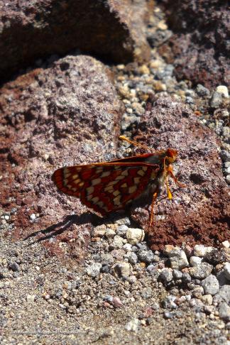 Butterfly - Skyline Trail, Mount Rainier National Park, WA