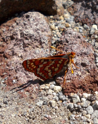 Butterfly - Skyline Trail, Mount Rainier National Park, WA