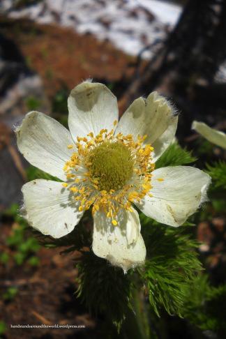 Pasqueflower - Skyline Trail, Mount Rainier National Park, WA