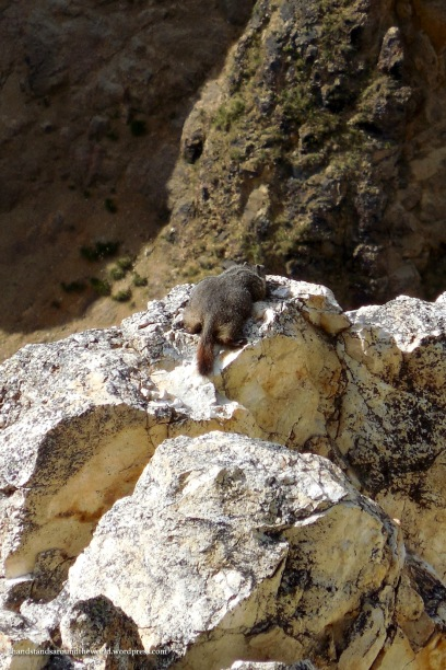 A marmot sunning himself on top of the Canyon