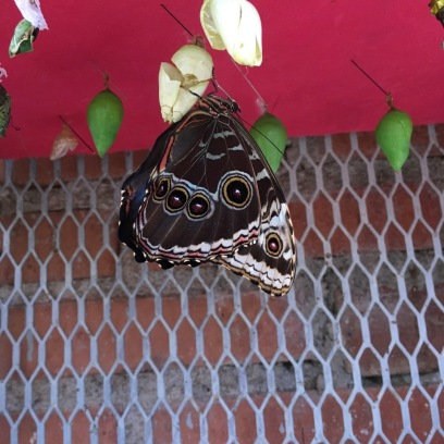 Pupating butterfly